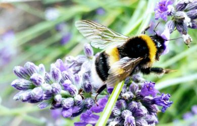 Productive worker bee on lavender